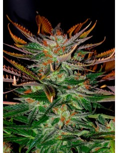 Kannabia Seeds- Mc Early Regular