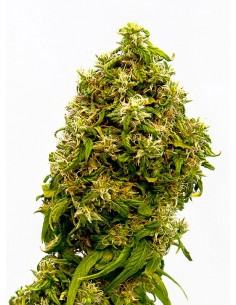 Kannabia Seeds- Swiss Dream CBD