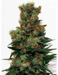 Ripper Seeds - Ripper Badazz Regulares