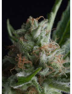 Pyramid Seeds- Shark CBD