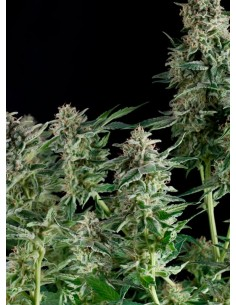 Pyramid Seeds- Northen Lights CBD