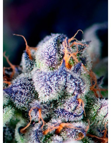 Pyramid Seeds- Cookies USA