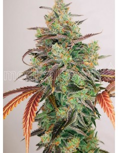 Medical Seeds- Y Griega CBD 2.0