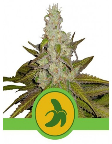 Royal Queen Seeds- Auto Fat Banana