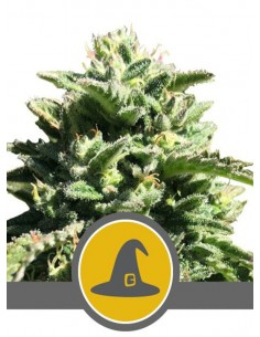 Royal Queen Seeds- Exotic Witch