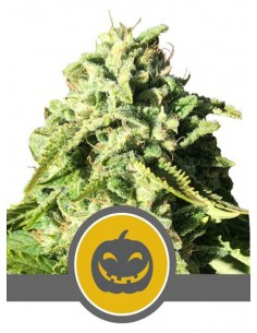 Royal Queen Seeds- Pumpkin Kush