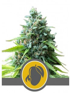 Royal Queen Seeds- Mango Crunch Regulares