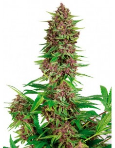 Buddha Seeds - Purple Kush