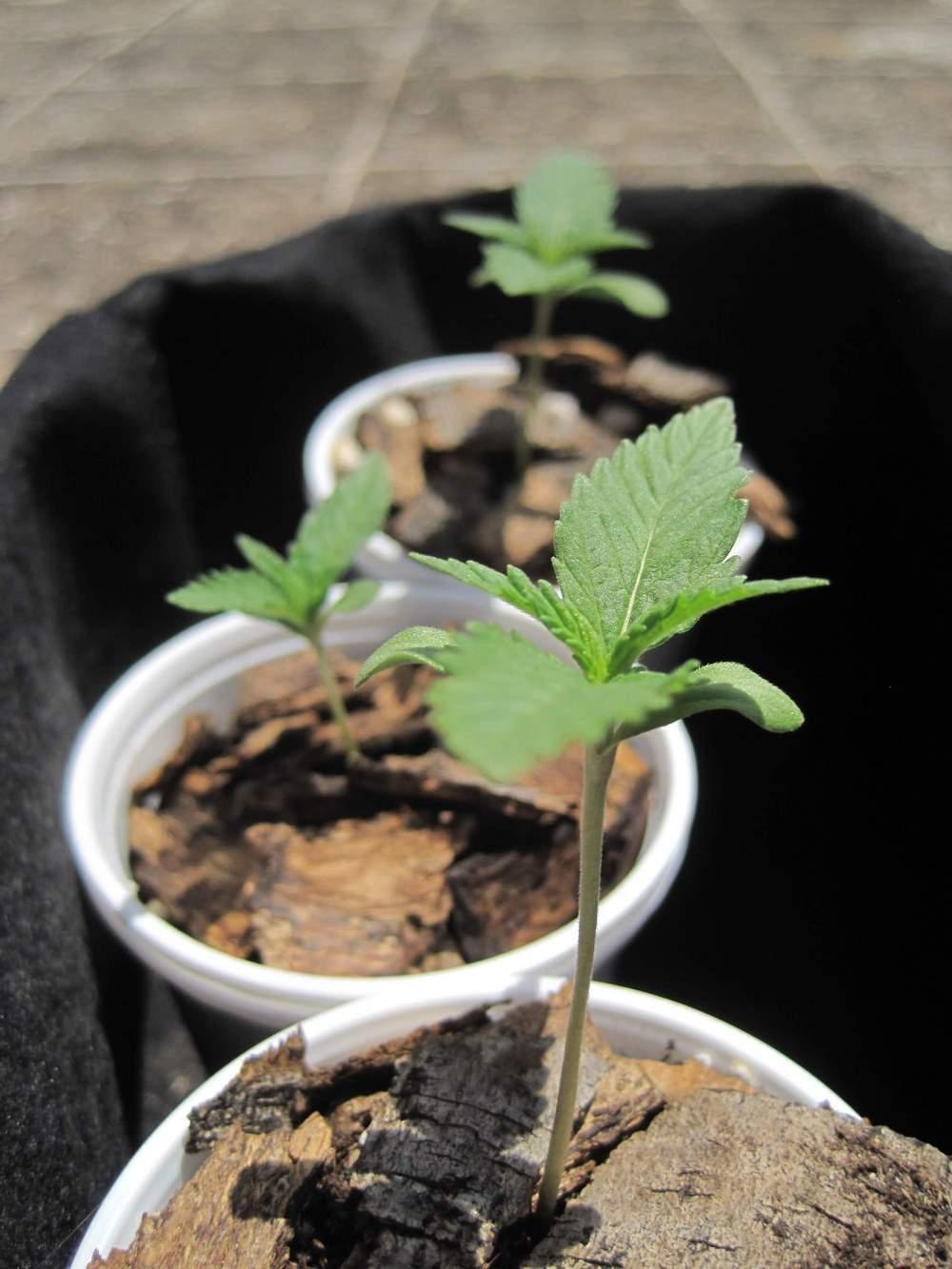 Piante Adatte Al Sole Diretto coltivare la marijuana in balcone   sweet seeds®