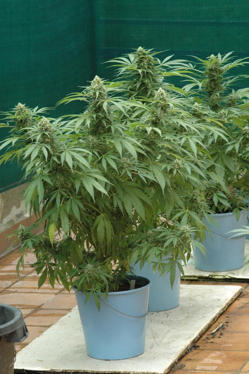 Cultivar marihuana en el exterior manual de cultivo - Macetas de exterior ...