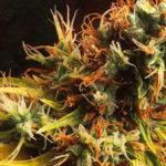 Green Poison: el sabor más dulce