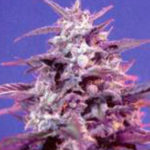 Fotodependientes, F1 Fast Version y autoflorecientes de Sweet Seeds®