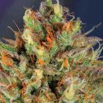 El titán de las autoflorecientes: Cream Mandarine XL Auto<sup>®</sup>