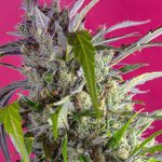 (English) Shredding the new Cristal Candy Auto® from Sweet Seeds®
