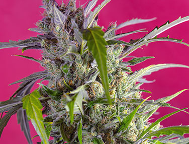 thumb_CRYSTAL_CANDY_AUTO(R)_SWS61