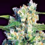 Gorilla Girl® & CO Neuw strains mit 25% THC