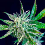 Sweet Gelato Auto® Los copos de nieve de cannabis más helados