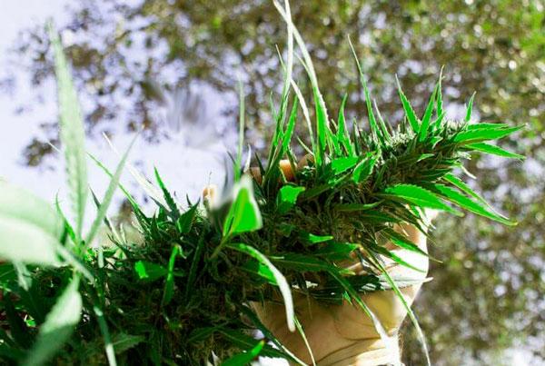 cultivo guerrilla sin regar