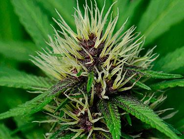 floracion marihuana