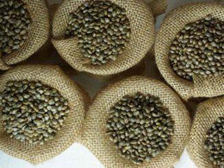 que-son-semillas-feminizadas