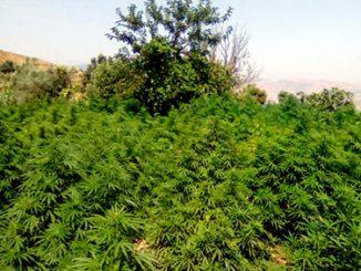 floracion marihuana exterior