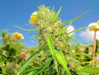 cultivo exterior marihuana