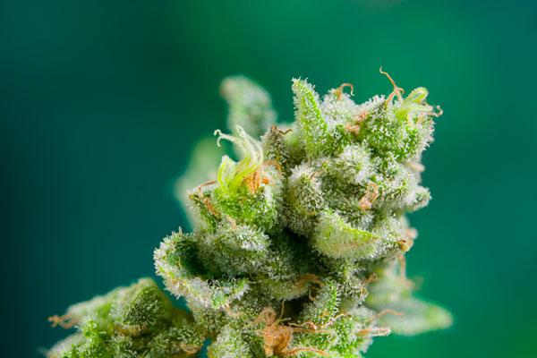 terpenos marihuana